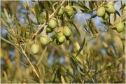 errachidia olive