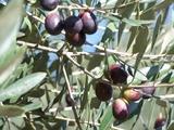 olive errachidia